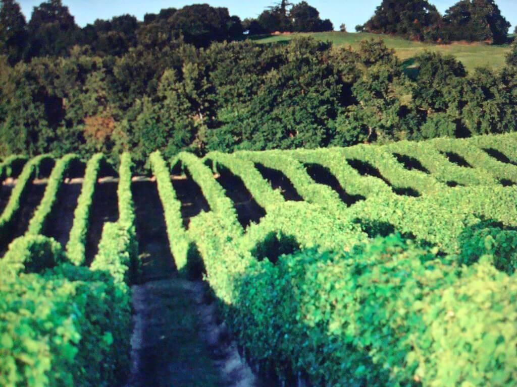 Vignes en Landes d'Armagnac